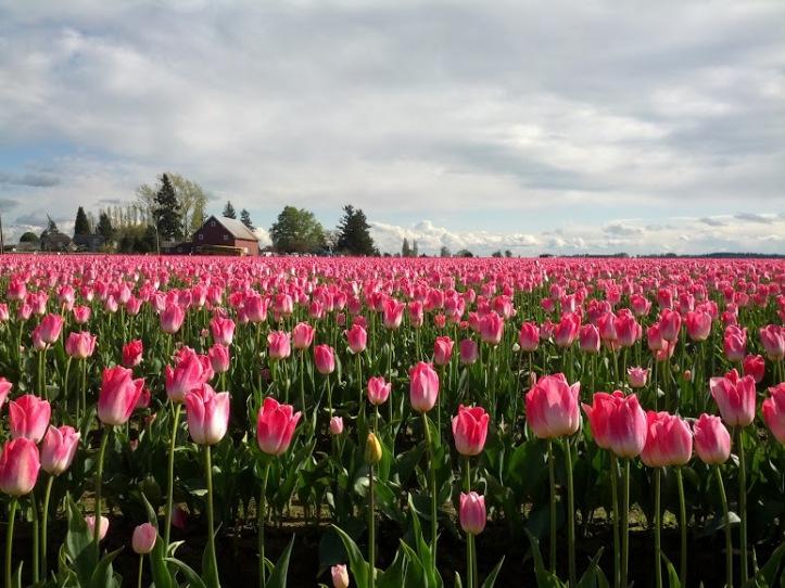 Skagit Flower field by Templon. Copyright 2013